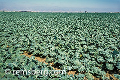 SALINAS, CALIFORNIA - Salinas Valley fields (Remsberg Photos) Tags: california usa green field outdoors farm farming grow sunny salinas crops agriculture salinasvalley