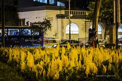 flores (hectorfranciscofoto) Tags: park flowers flores yellow night kiss lima per amarillo beso miraflores parquekennedy