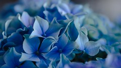 hydrangea (gks18) Tags: blue plant flower nature floral closeup canon spring blossom bloom cropped hydrangea canon7d