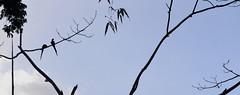 pareja de guacamayos (jo.alvarezv) Tags: naturaleza peru nature silhouette siluetas macaws amazonia puertomaldonado selvaamaznica guacamayos amazonianjungle amazoniaperuana