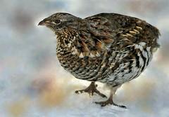 3  -  Gélinotte huppée (Marie-Helene Levesque) Tags: oiseau abitibi valdor mariehelene mariehélène dubuisson gelinotte gelinottehuppée sentierécolebuissonnière