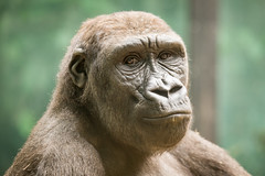 2015-04-08-11h36m07.BL7R9942 (A.J. Haverkamp) Tags: amsterdam zoo gorilla thenetherlands artis dierentuin dayo httpwwwartisnl dob18062008 canonef100400mmf4556lisusmlens pobamsterdamthenetherlands