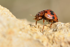Twenty-four spot ladybird (Subcoccinella vigintiquattuorpunctata) (Ian Redding) Tags: uk nature fauna insect wildlife beetle british invertebrate arthropod