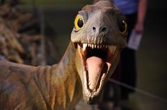 Juvenile Gorgosaurus (juan_guthrie) Tags: drumheller alberta royaltyrrellmuseum dynosaur