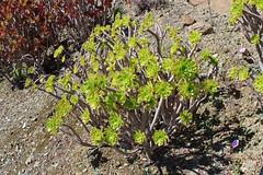 Aeonium arboreum - BG La Concepcion - Malaga (Ruud de Block) Tags: crassulaceae malaga aeoniumarboreum jardnbotnicohistricolaconcepcin bglaconcepcionmalaga