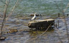 It's my Island (rumimume) Tags: sun ontario canada water canon river concrete photo spring still seagull sigma niagara picoftheday 2016 550d t2i rumimume