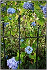 (CanMan90) Tags: fence friday weekend iron flowers victoria britishcolumbia blue black canon rebelt3i outdoors