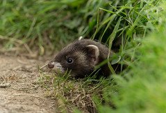 European polecat (Mustela putorius) (Steven Whitehead (Away)) Tags: nature canon fur outdoors feeding 300mm bwc f28 2016 polecat lingfield 1dx membersevening eos1dx canon1dx
