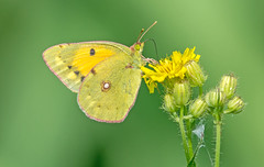 DSC1842 Clouded Yellow.. (jefflack Wildlife&Nature) Tags: cloudedyellow butterfly butterflies lepidoptera insects insect wildlife glades heathland hedgerows fields countryside nature ngc npc