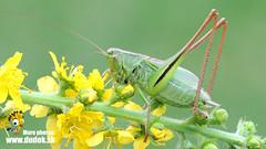 Metrioptera bicolor (Jn Svetlk) Tags: orthoptera tettigoniidae zber472016