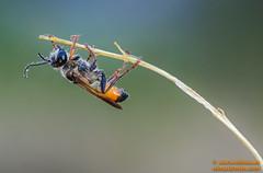 Mosca parasitaria (avi_olmus) Tags: verano apilado lesmarines moscaparasitaria focusstacking insecto macrofotografa santllorensavall catalua espaa es