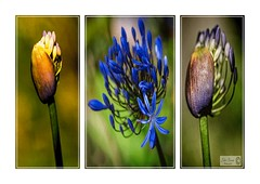 Agapanthus triptych (John's taken it. PEACE.) Tags: tryptych agapanthus flower macro