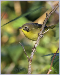 common yellowthroat (Christian Hunold) Tags: commonyellowthroat woodwarbler warbler songbird bird weidengelbkehlchen algonquinprovincialpark ontario christianhunold