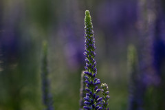 Lavender (Edmonton Ken) Tags: lavender blue plant flower back light color colour stem flora