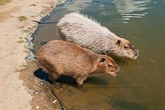Capybara (Harley Mac) Tags: capybara kangaroocreekpark