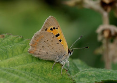 Small Copper---- Lycaena phlaeas (creaturesnapper) Tags: uk europe butterflies insects lepidoptera smallcopper lycaenidae lycaenaphlaeas