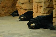 The three bears settled down for a nap (radargeek) Tags: bear sleeping zoo oklahomacity blackbear okczoo