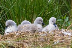 (jonathan_ed1984) Tags: jonathanwintlephotography canon 7dmkii thenationaltrust dunhammassey summer 2016 swan swans muteswan muteswans cygnet cygnets po water lake pomd pond