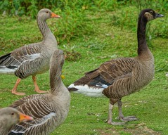 What kind of goose? (artanglerPD) Tags: greylag geese mixture
