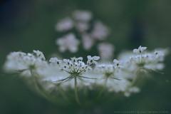 Umbelliferae (g e g e n l i c h t) Tags: doldenblüter umbelliferae blüte makro weis schärfentiefe bokeh dof nokton 25mm lumixgx7 nature macro flower plant