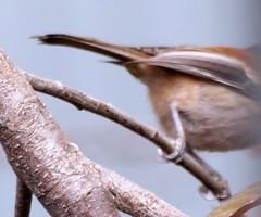 Birdwatching 20140925 (caligula1995) Tags: 2014 chickadee plumtree