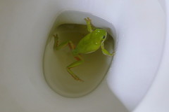 Frog in the loo! (The Pocket Rocket) Tags: greenfrog barcaldine outback queensland australia h