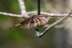 Not sure I trust this Wren... Seems to be a Little Shady (swbshop1) Tags: housewren