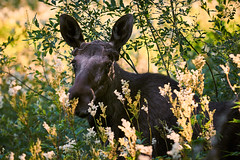 20160721 Moose in the wild (marcus.dennland) Tags: moose sweden nikond300 sigma70200