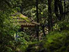 kaularu (Tiled roof) (Bhushan Barve) Tags: konkan greenery