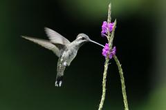 Lampornis clemenciae  (Blue-throated Mountain-gem) - Costa Rica (Nick Dean1) Tags: apodiformes hummingbird costarica animalia chordata aves lakearenal lampornisclemenciae bluethroatedmountaingem bluethroatedhummingbird