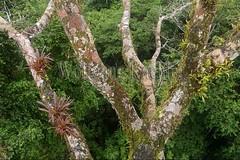 60071614 (wolfgangkaehler) Tags: 2016 southamerica southamerican ecuador ecuadorian latinamerica latinamerican rionapo rionapoecuador rionaporiver rainforest coca cocaecuador laselvalodge observationtower tower rainforestcanopy epiphyticplants epiphyte epiphytes trees