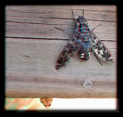 Xenox Tigrinus, Tiger Bee Fly on Gate 2 - Anaglyph 3D (DarkOnus) Tags: mate8 buckscounty cell closeup darkonus huawei pennsylvania phone tiger bee fly xenox tigrinus gate 3d stereogram stereography stereo macro insect anaglyph