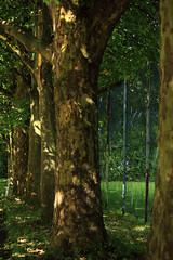 Am Westring (Rdiger Stehn) Tags: 2000er 2000s 2016 canoneos550d europa mitteleuropa deutschland norddeutschland germany schleswigholstein kiel kielravensberg stadt bume pflanze silberbaumartige proteales platanengewchse platanen platanaceae natur