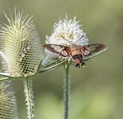 Hummingbird Moth in flight~HBW (mark-marshall) Tags: hummingbird moth hummingbirdmoth d500 nikon afsnikkor70200mmf28gedvrii bokeh hbw blurry