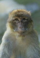 Zoo De Beauval-7 (Bryareos163) Tags: zoo beauval animal prim primate singe portrait regard
