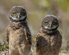 What's he doing?  I've no idea! (Andy Morffew) Tags: burrowingowls chicks looking staring bemused marcoisland florida andymorffew morffew explore explored