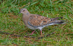 DSC6870  Turtle Dove.. (jefflack Wildlife&Nature) Tags: turtledove dove doves birds avian wildlife wildbirds wetlands woodlands farmland heathland hedgerows moorland countryside nature wwtllanelli