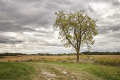 Harvest Season (SteveFrazierPhotography.com) Tags: landscape scenery scene crop corn field harvest harvesting stubble tree rural country countryside farm farmland agriculture midwest autumn fall chili illinois stevefrazierphotography clouds lateseptember