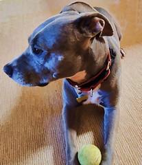 pretty Pt (Zip Eye) Tags: pate dog pitbull bluenosepit