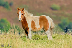 Wild Pony (parry101) Tags: wild pony ponies wales south glamorgan field sky animal animals nature outdoor