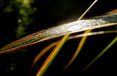 dew.on.bamboo (C.Kalk DigitaLPhotoS) Tags: tau dew plant pflanze flora shiny closeup bokeh reflection reflektion waterdrop wassertropfen macro makro bambus bamboo