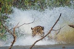 Jaguar Making A Splash (Barbara Evans 7) Tags: jaguar making a splash pantanal brazil barbara evans7