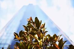 Skyscrapper. (kaanvarol) Tags: nature skyscrapper leaf