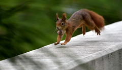 A Happy Squirrel (gps1941) Tags: walnut animal tier eichhorn eichhrnchen walnuss jump run sprung