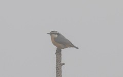 7K8A1721 (rpealit) Tags: scenery wildlife nature stokes state forest sunrise mountain redbreasted nuthatch bird fog