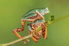 Outta My Way! (Linda Martin Photography) Tags: phyllomedusatomopterna dorset supertigerleggedwaxymonkeyfrog wildlife frogworkshop uk nature coth ngc npc coth5