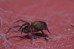 Lace webbed spider - Amaurobius similis (Procrustes2007) Tags: uk england spider suffolk wildlife arachnid flash nikond50 sudbury invertebrate wildlifephotography tamron2xteleconverter nikkor50mmais lacewebbedspider amaurobiussimilis vivitarextensionrings68mmtotal d50nocturnalarachnids