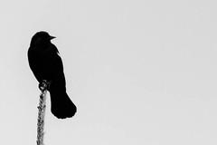 Serious Bird... (Amarand Agasi) Tags: blackandwhite bw tree bird serious emo utata pointybeak seriousbird
