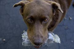 Playing Keep-Away (yasdnilnoyl) Tags: dog bottle intense lab