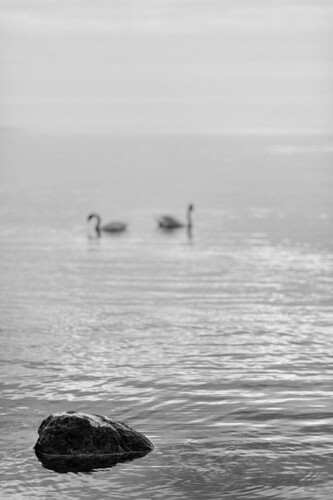 A Stone and Two Swans